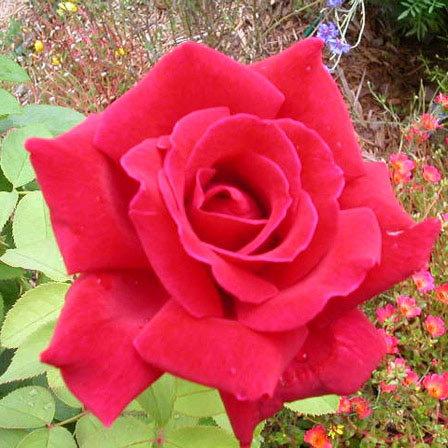 chrysler imperial rose