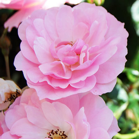 7 Old Blush Climber China Rose Pink Roses