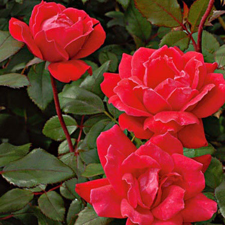 Double Red Knockout Rose Pinit