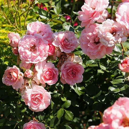 25 The Fairy Rose Pink Roses