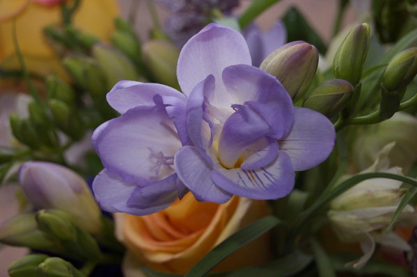 freesia flower