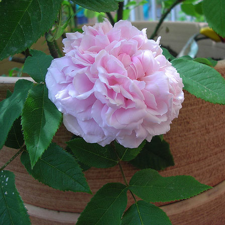 jacques cartier rose