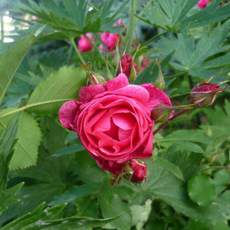 morden ruby rose
