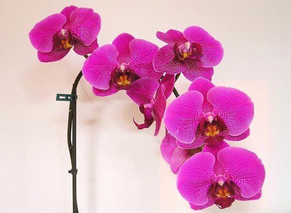 Top 10 most beautiful violet flowers enchanting violet flowers 1 phalaenopsis orchids mightylinksfo