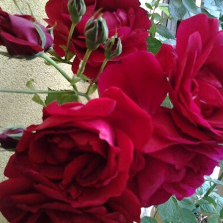 sympathy rose