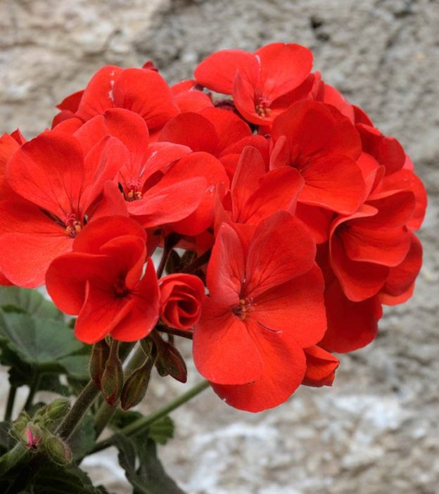 26 Best Benefits Of Geranium For Skin, Hair, And Health