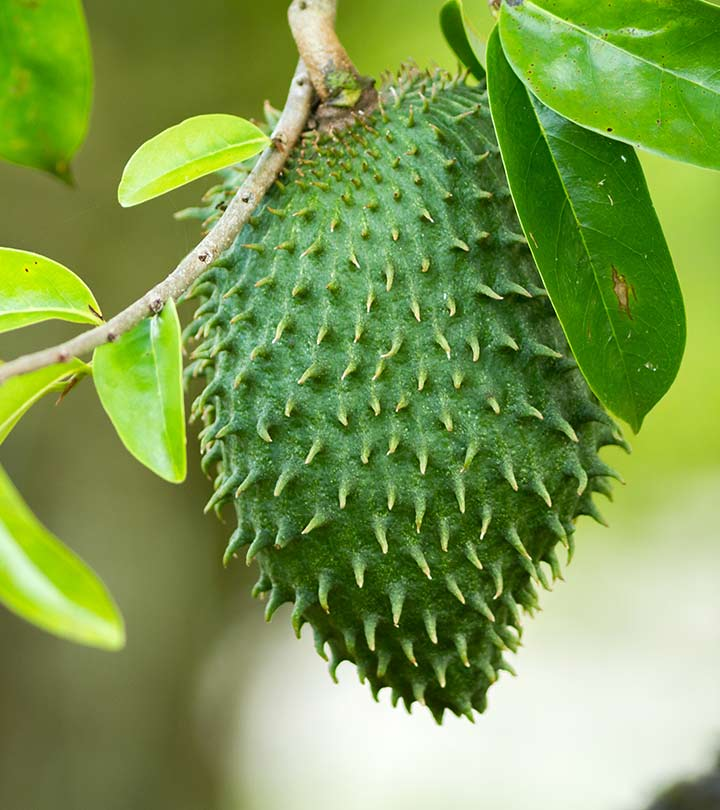 Picture of Live Soursop Guanabana Fruit Plant - Annona Muricata - Mang CAU Xiem GAI - Plant Fit 1 Gallon Pot