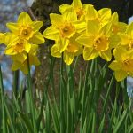 Top 25 Most Beautiful Daffodil Flowers