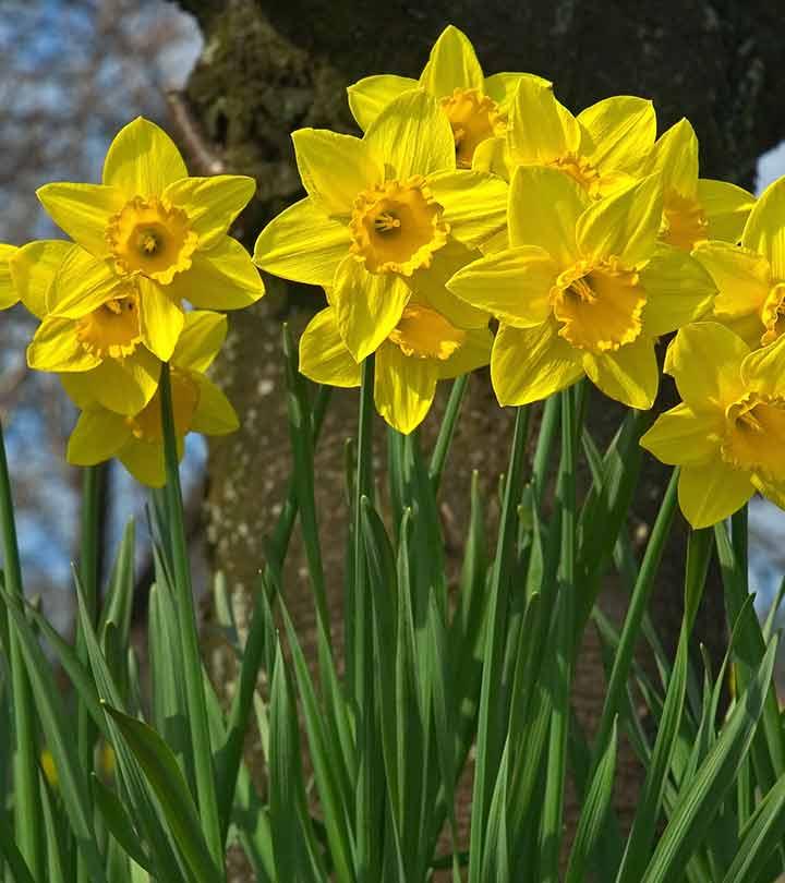 Top 25 most beautiful daffodil flowers mightylinksfo