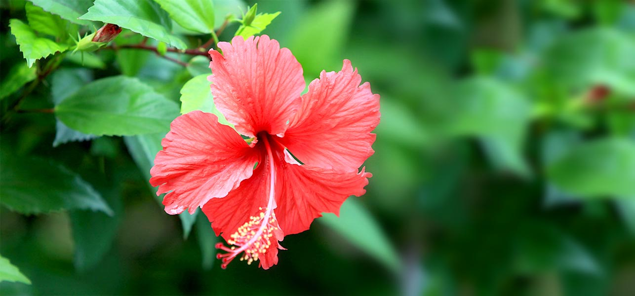 top  most beautiful hibiscus flowers, Natural flower