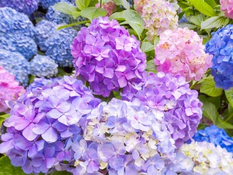 6926_Top 15 Most Beautiful Hydrangea Flowers