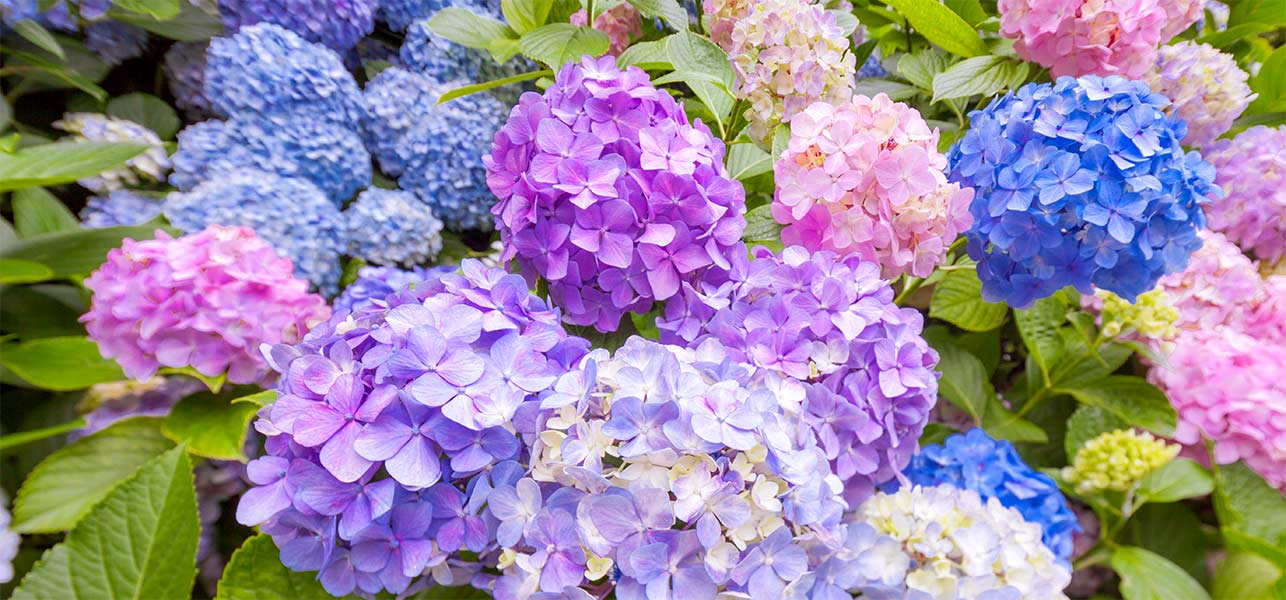 Image result for Hydrangea flowers