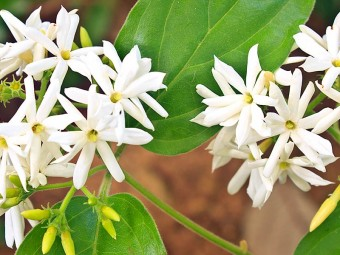 6927-beautiful-jasmine-flowers