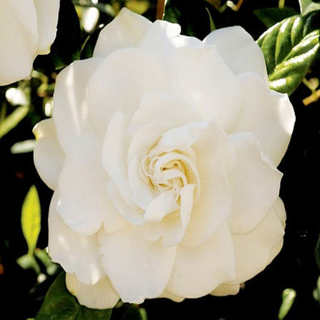 Gardenia Jasminoides Candle Light