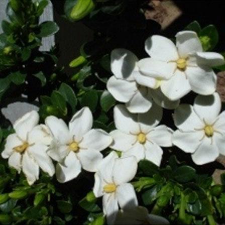 Gardenia Jasminoides Daisy