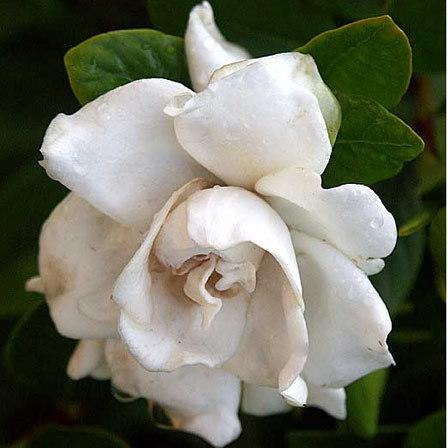 Gardenia Jasminoides Glazerii