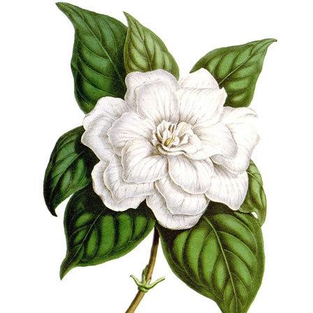 Gardenia Jasminoides Michael