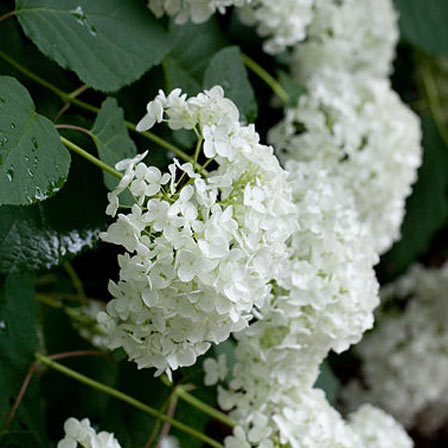 Hydrangea-Arborescence-Annabelle flower