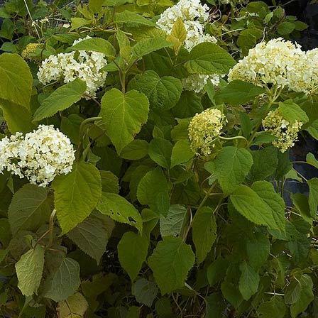 hydrangea arborescence hayes starburst