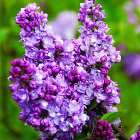 lilac charles joy