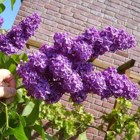 lilac minuet