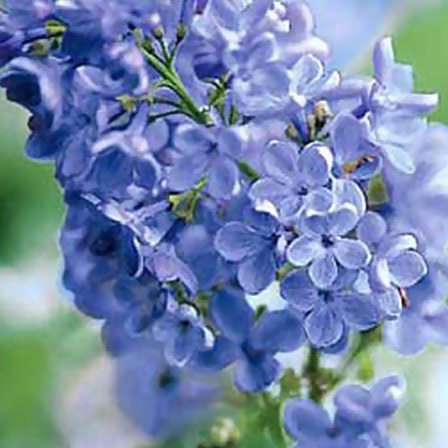 lilac wonderblue