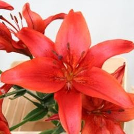 lily red county