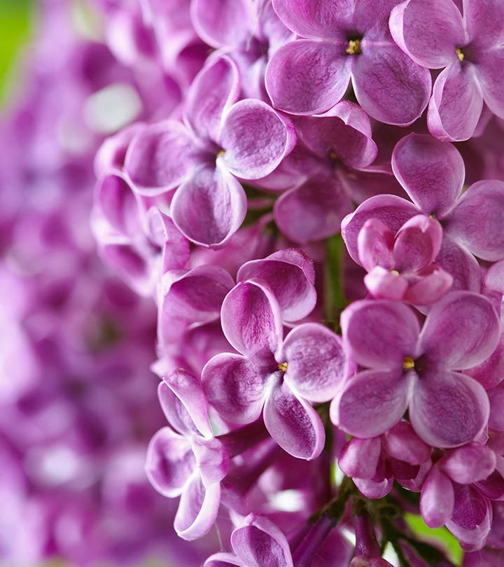 Most-Beautiful-Lilac-Flowers