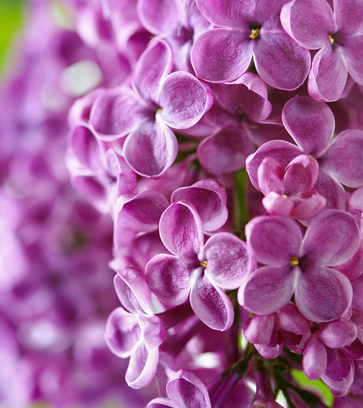 Top 15 most beautiful lilac flowers most beautiful lilac flowers mightylinksfo