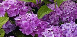 Top-15-Most-Beautiful-Hydrangea-Flowers