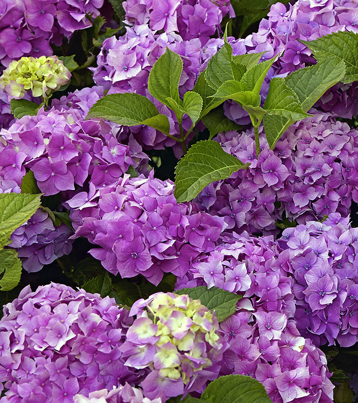Top 15 Most Beautiful Hydrangea Flowers