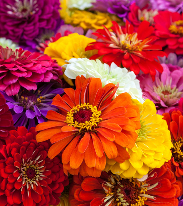 Top 15 Most Beautiful Zinnia Flowers