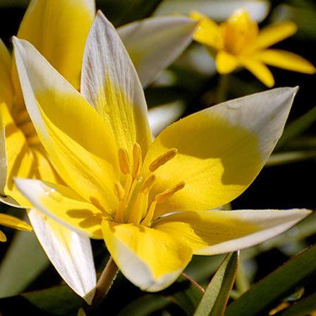 Tulipa tarda flowers