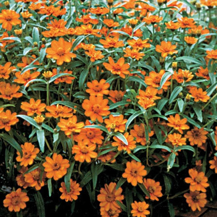 Zinnia angustifolia Crystal Orange