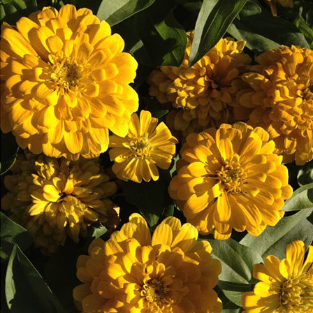 Zinnia elegans Lilliput Gem Golden