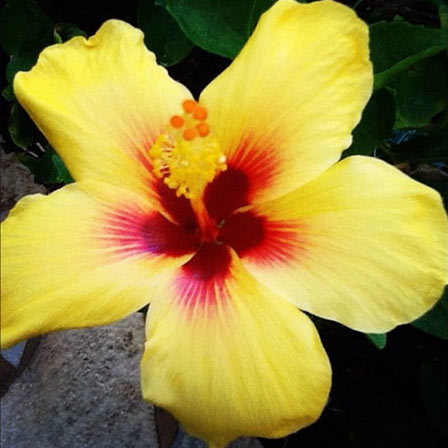 Top 25 Most Beautiful Hibiscus Flowers