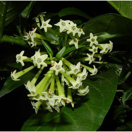 cestrum nocturnum night blooming jasmine