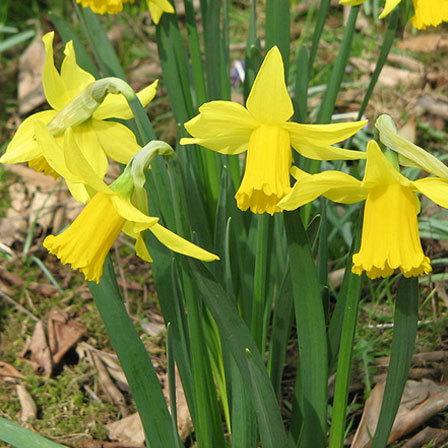 february gold daffodils