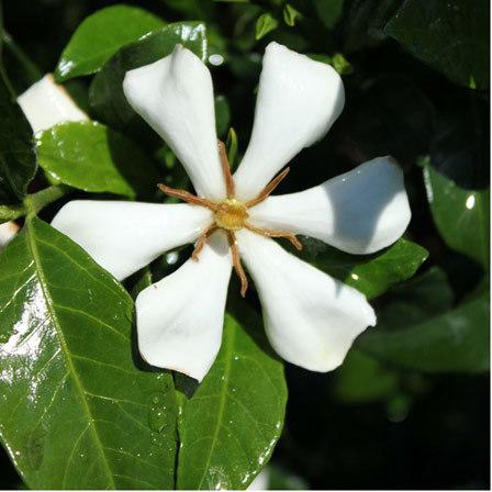 gardenia jasminoides grif select