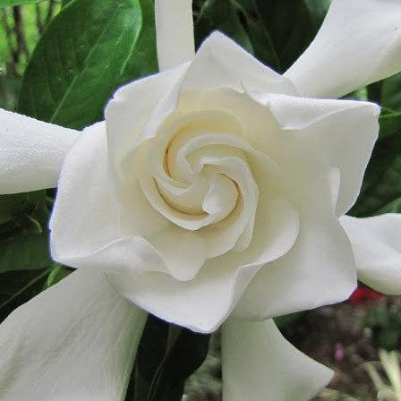 gardenia jasminoides miami supreme