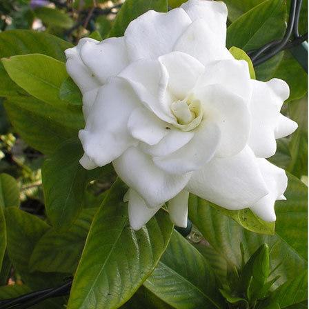 gardenia jasminoides mystery