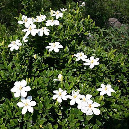 gardenia jasminoides shooting star