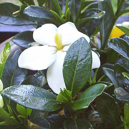 Top 25 most beautiful jasmine flowers gardenia jasminoides white gem mightylinksfo