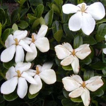 jasminoides Kliems Hardy