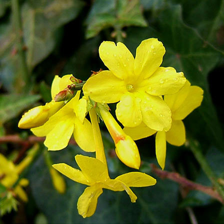 jasminum nudiflorum winter jasmine
