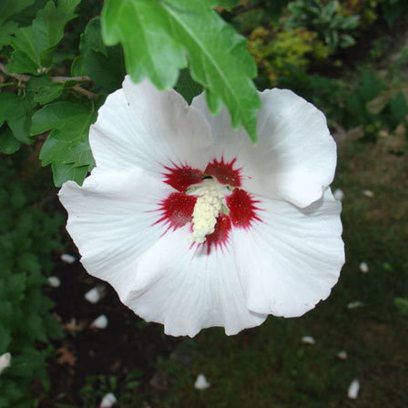 rose in sharon