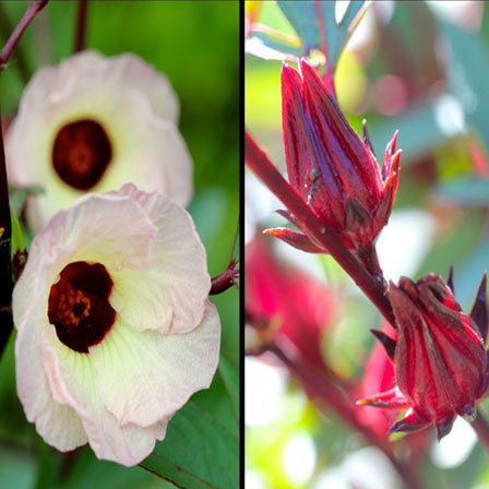 Top 25 most beautiful hibiscus flowers roselle il pinit mightylinksfo