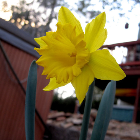 sentinel daffodils