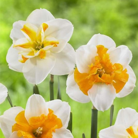 Top 25 most beautiful daffodil flowers sorbet daffodils are yellow split cup daffodils with bright yellow orange centers that give the flower a very fancy look it offers white petals with mightylinksfo