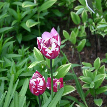 tulip zurel